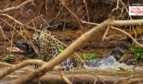 Planet Earth II viewers left stunned as 'killer of killers' jaguar crushes the skull of enormous crocodile