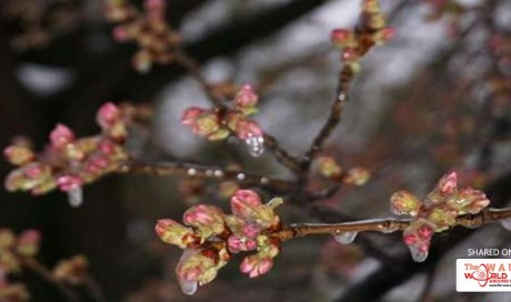 Half of Washington's cherry blossoms dead after cold snap