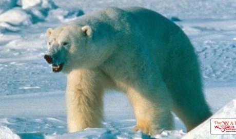 'King' polar bear skull found in northern Alaska may solve mystery