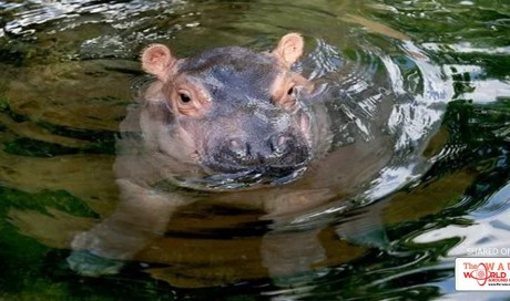 Fiona the hippo dazzles in front of the cameras