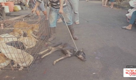 Thousands of dogs killed for food at Indonesian meatmarket