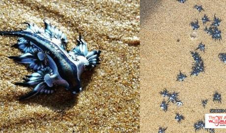 Weird blue sea creature washed ashore Australian beaches