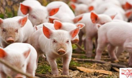 Why is Pork forbidden in Islam? 5 Scientifically proven reason