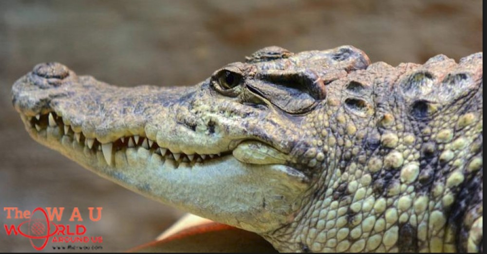 d2f16098d9c9 Angry mob slaughters nearly 300 crocodiles in Indonesia in revenge attack