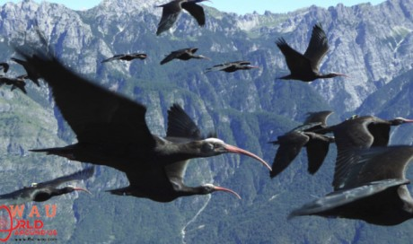 After a 400-Year Absence, A Rare Ibis Returns to European Skies