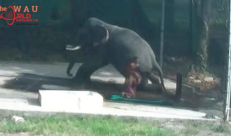 Video: Indian mahout crushed to death by elephant
