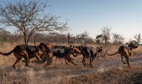 Dogs trained to protect wildlife have saved 45 rhinos from poachers in South Africa