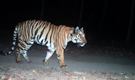 India tiger awaits mate after \'longest\' 3,000 km journey